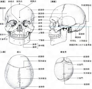 頭蓋骨の仕組み